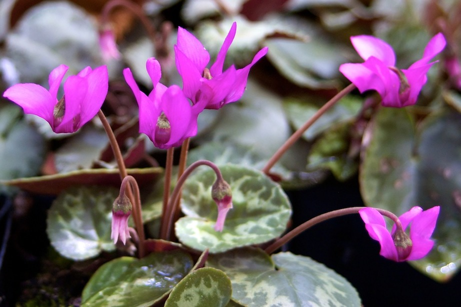 Cyclamen purpurescens  683