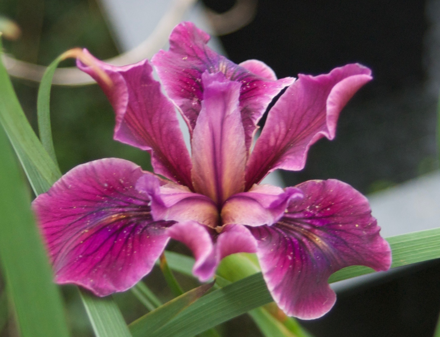 Iris X Pacifica Mission Santa Cruz Pacific Coast Hybrid Has Glowing Rosy Red Magenta Flowers It Is A Mid Season Bloomer About 12 Tall