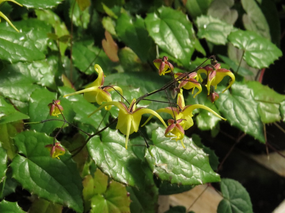 Epimedium davidii Robust Form (3)