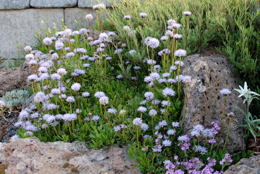 Globularia-cordifolia-in-rock-garden