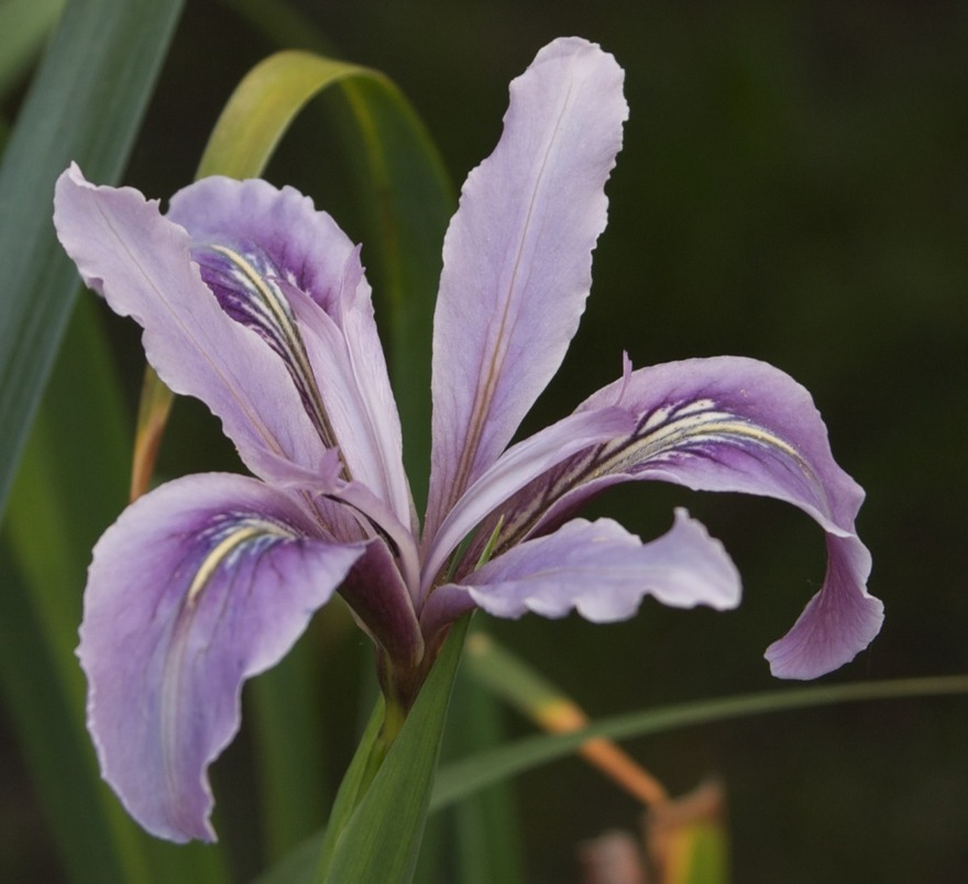 Iris-Smoky-Wine