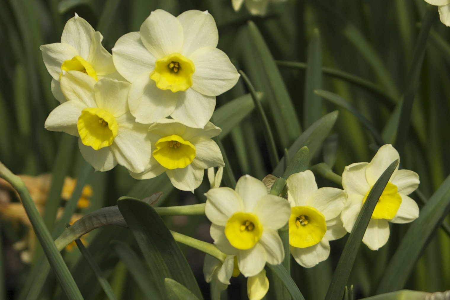 Echo And Narcissus Flower Related Keywords &...