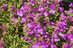 Penstemon-Fruticola
