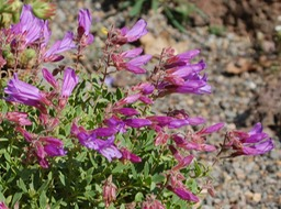 Penstemon-fruticosus-v-fruticosus-Cloudcap
