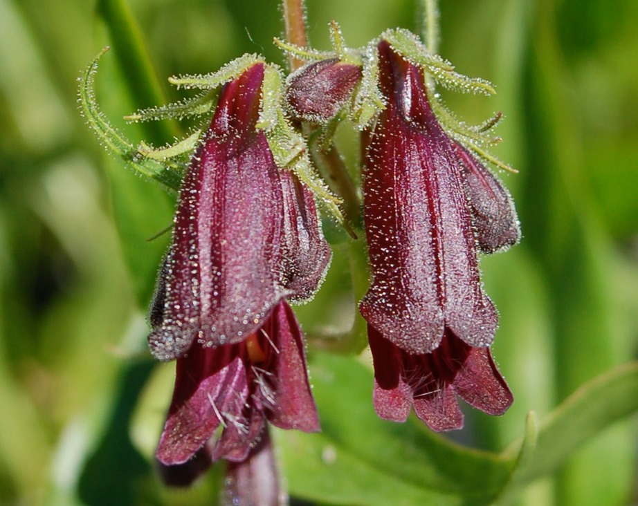 Penstemon-whippleanus-df_3