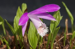 Pleione-pricei