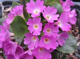 Primula 'Nightingale'