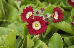 Primula-x-pubescens-The-Cardinal
