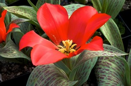 Tulipa Red Riding Hood