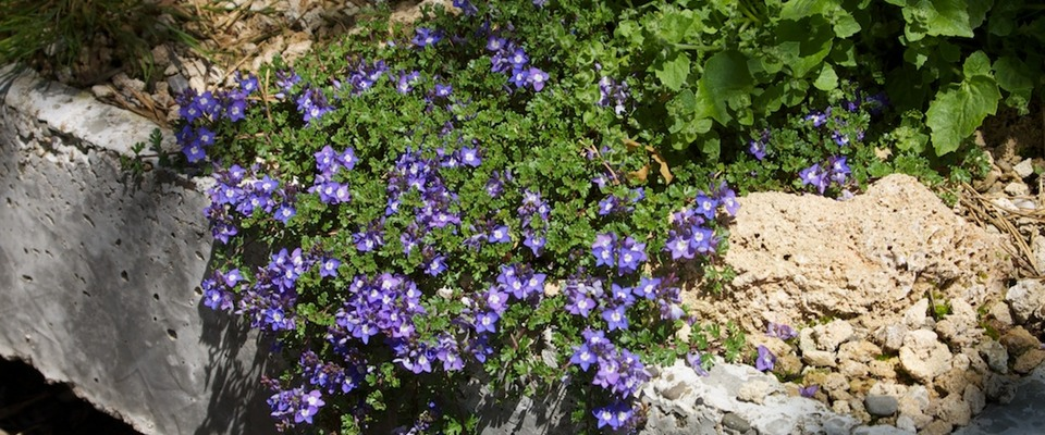 Veronica oltensis trough